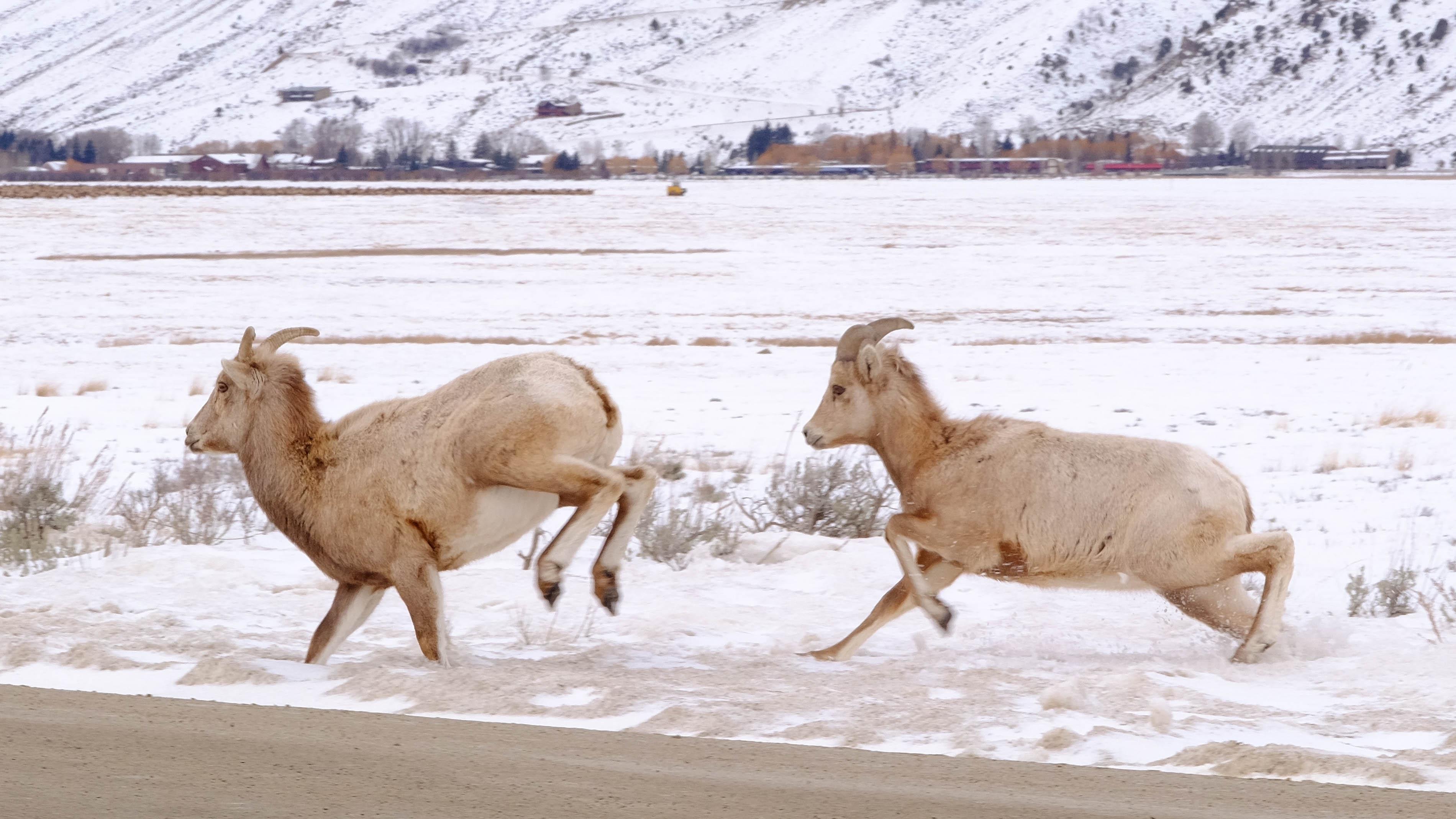 bighorn ewe3.jpg