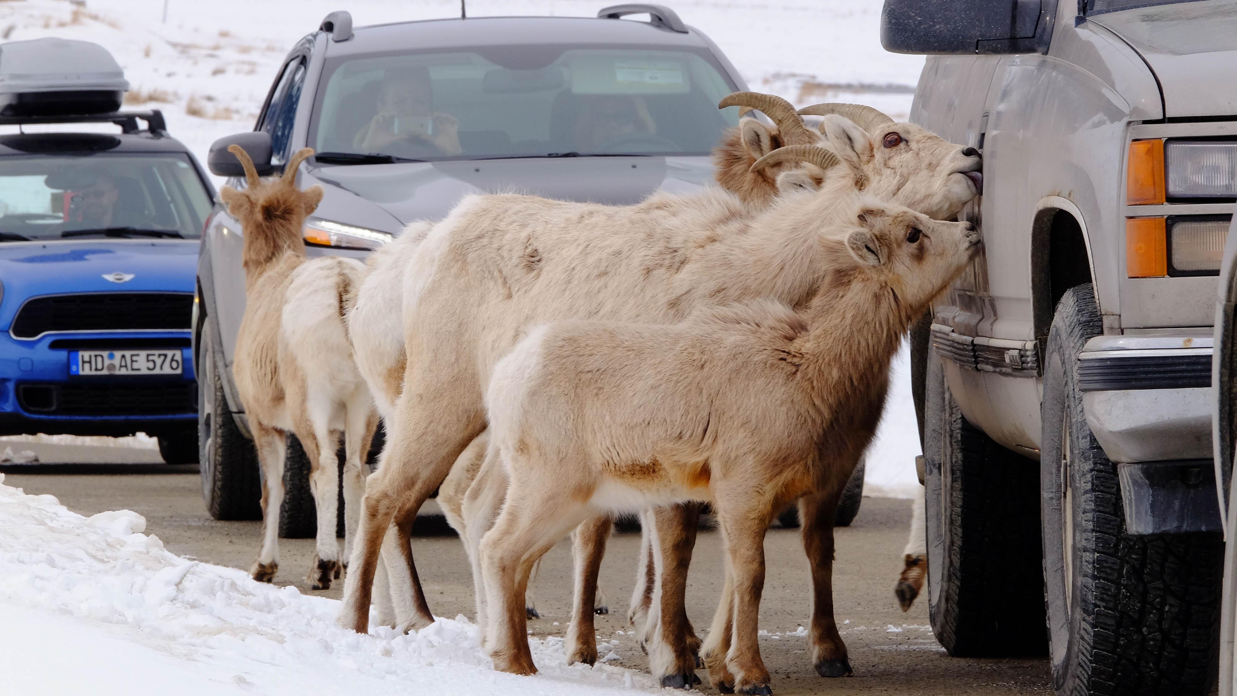 bighorn ewe4.jpg