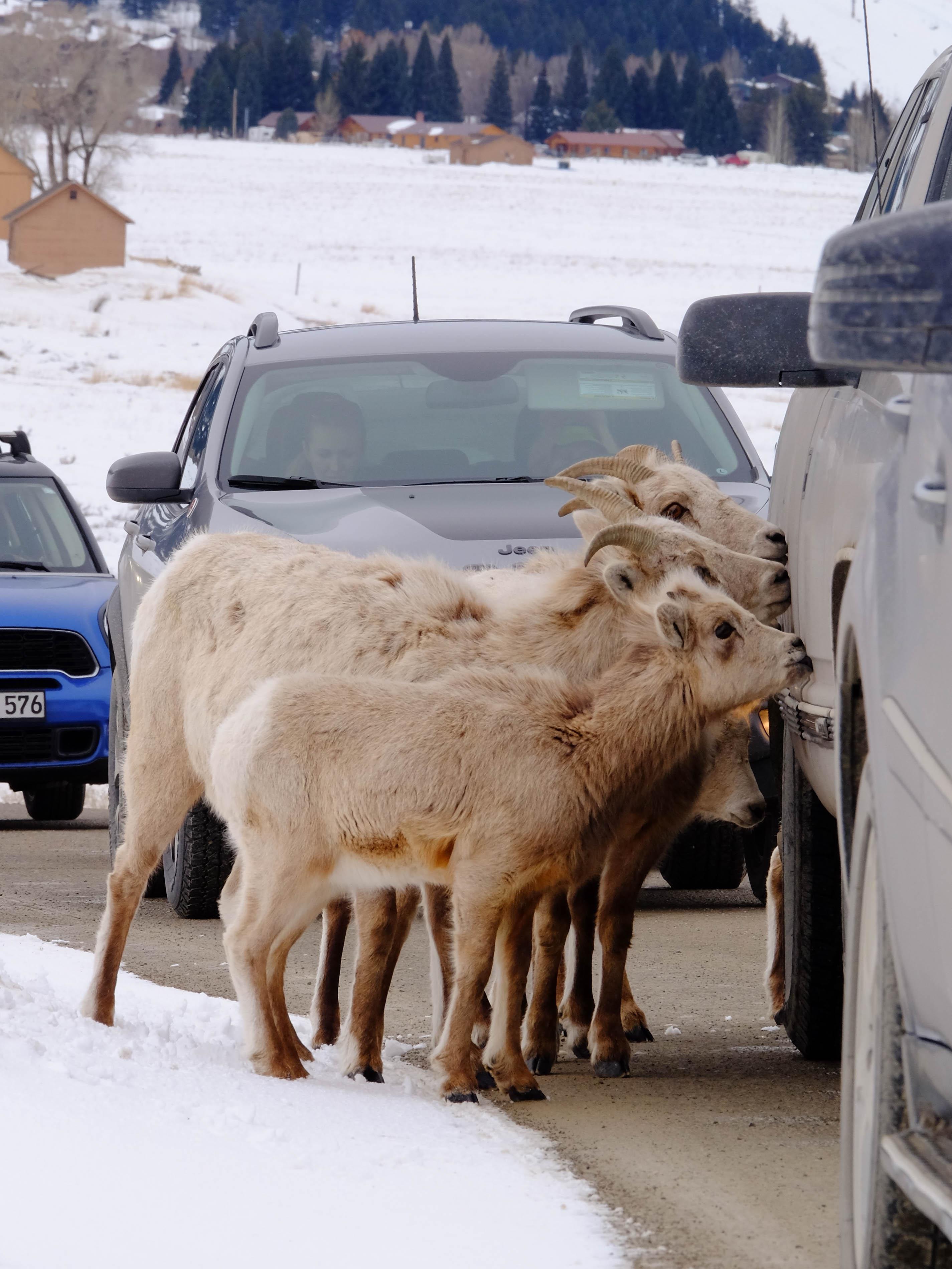 bighorn ewe2.jpg