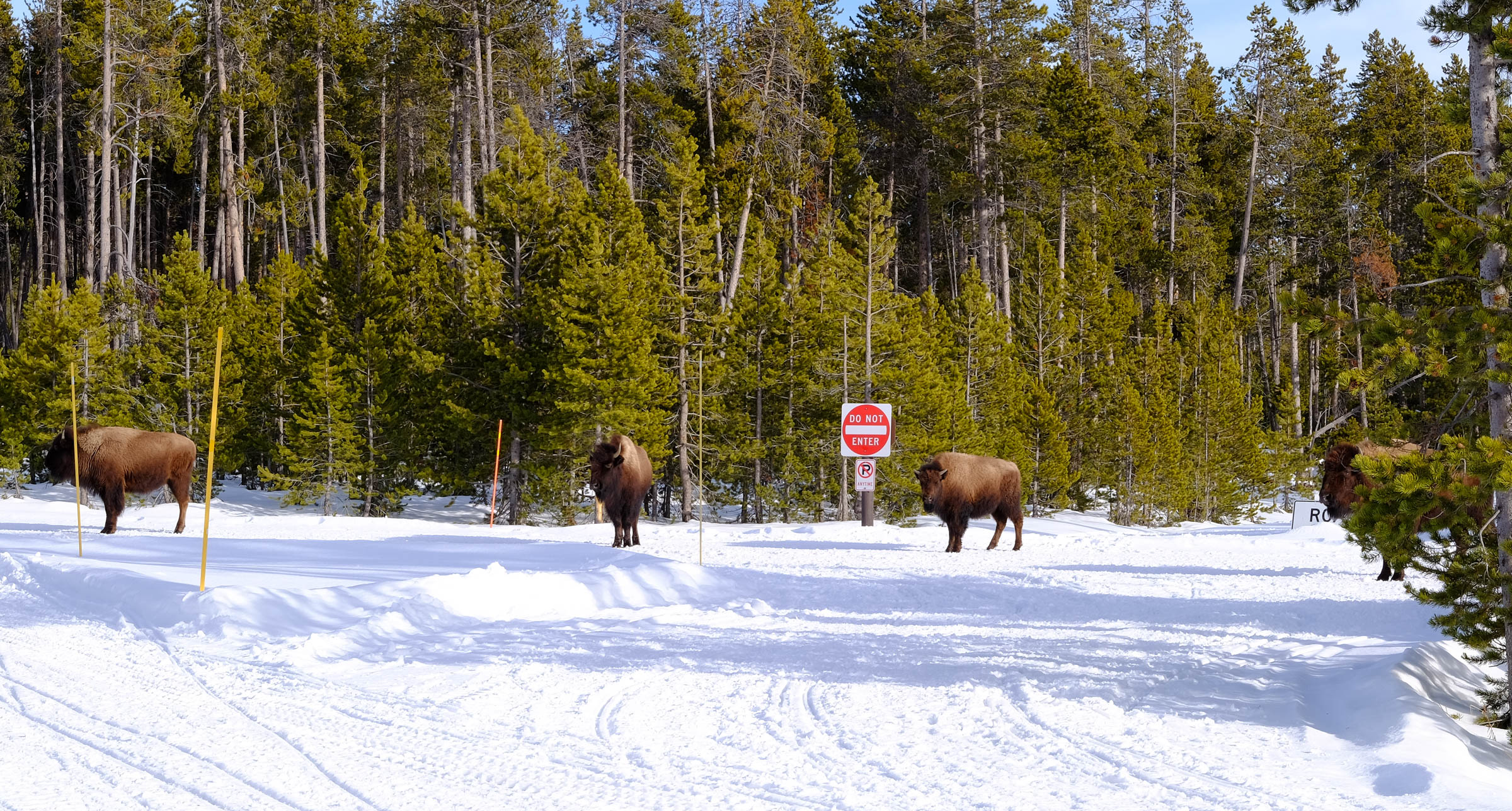 bison f4.jpg