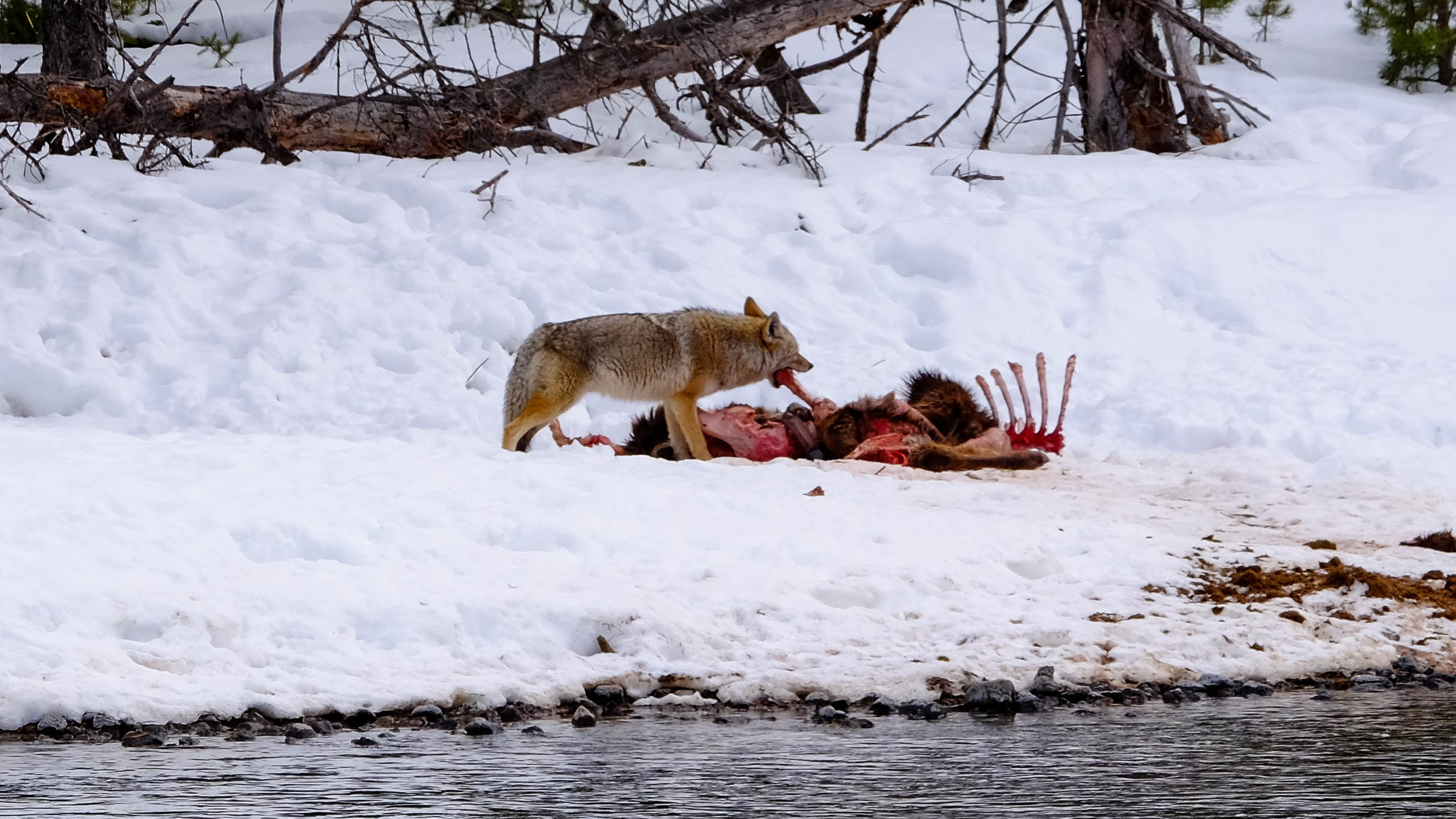 elk carcass3.jpg
