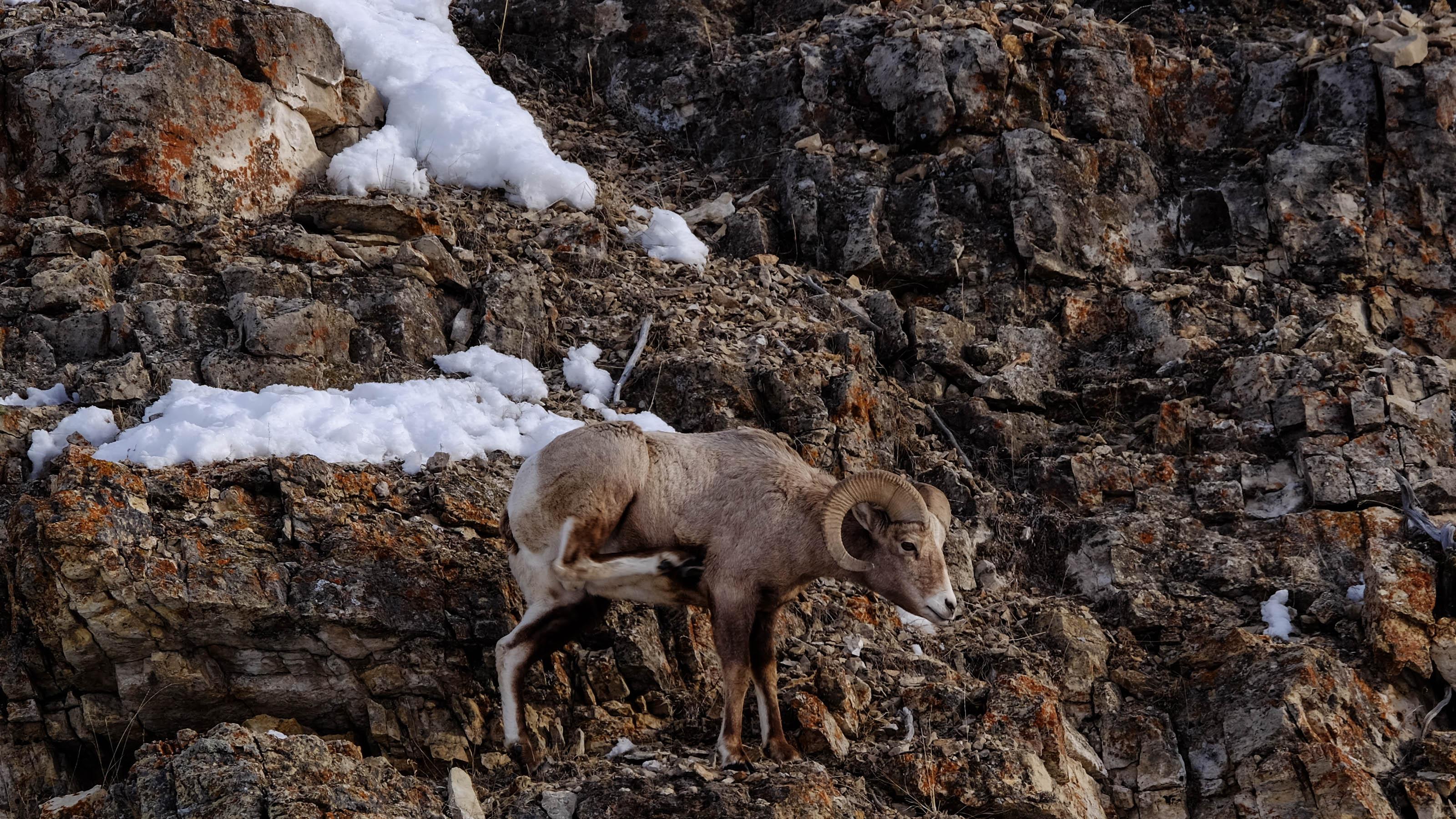 bighorn sheep3.jpg