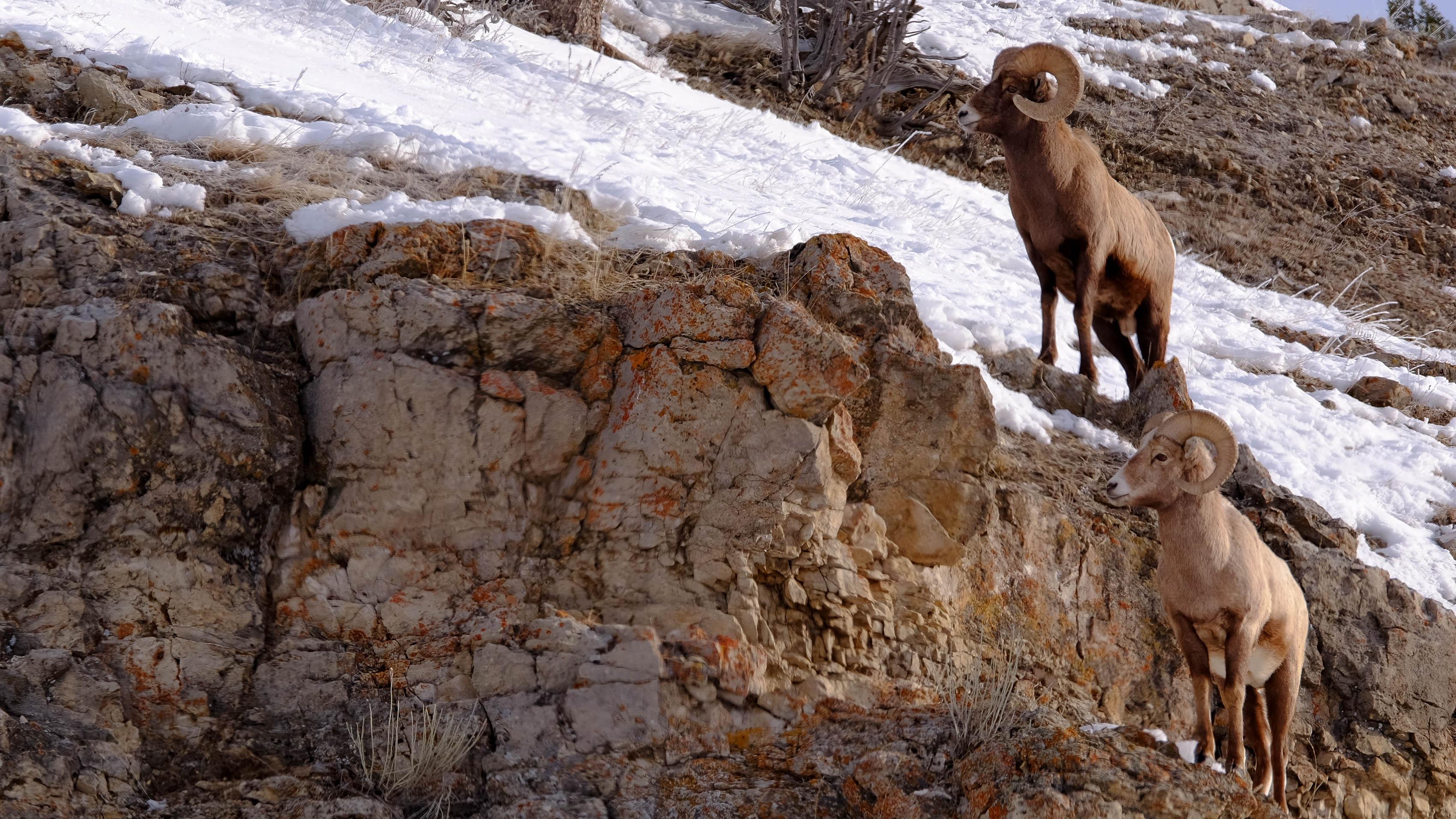 bighorn sheep1.jpg