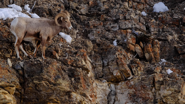 bighorn sheep2.jpg